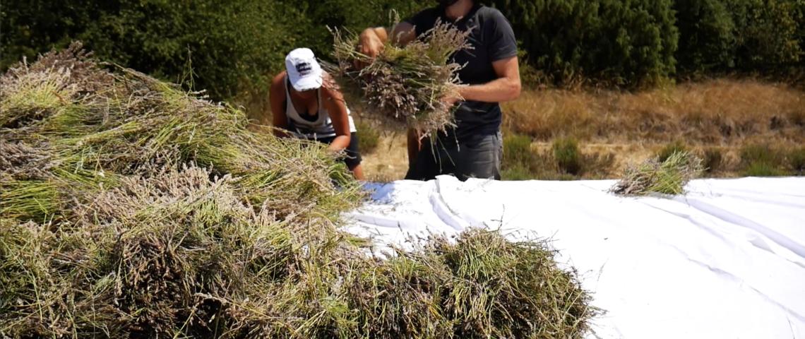 Nouvelle vidéo pour ceux et celles qui n'ont pas eu l'occasion de nous rendre visite : du champ au flacon !
