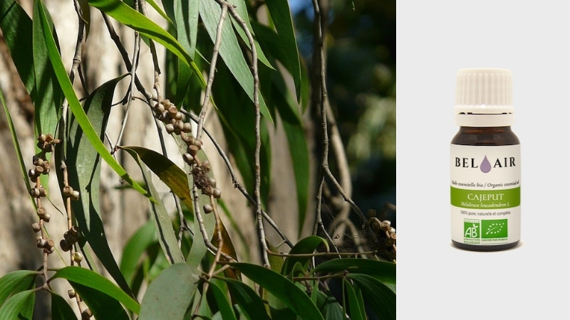 Nouveauté : huile essentielle de Cajeput
