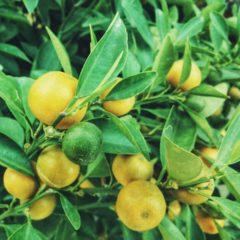Huile essentielle de Citron propriétés, indications, précautions