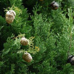 Huile essentielle de Cyprès de Provence propriétés, indications, précautions