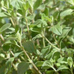 Huile essentielle de Marjolaine sylvestre propriétés, indications, précautions