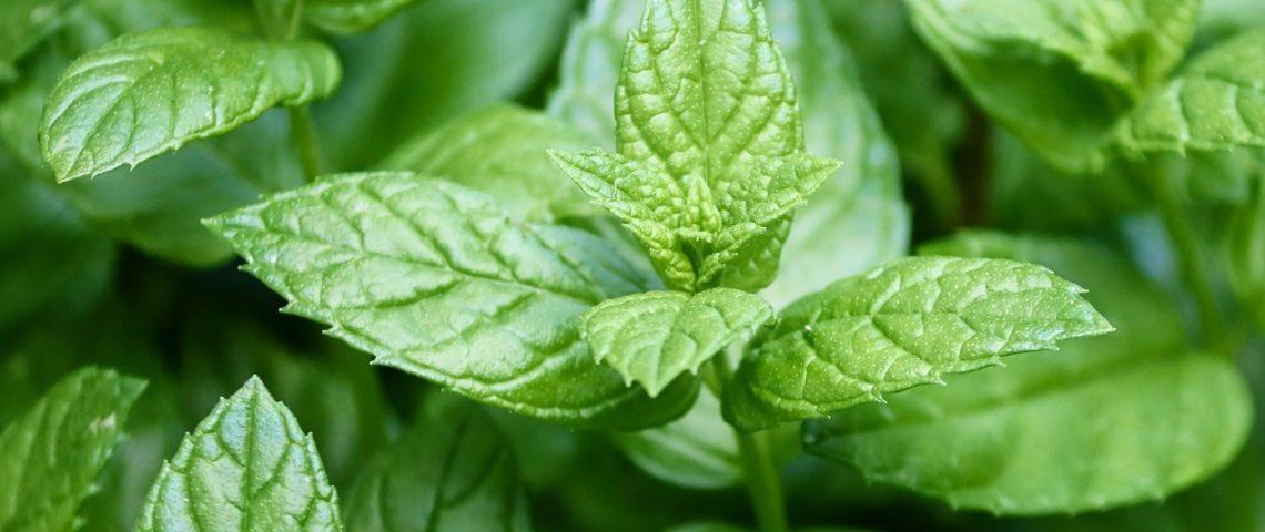 AromaGuide : l'huile essentielle de Menthe Poivrée