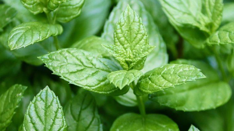 Huile essentielle de Menthe poivrée propriétés, indications, précautions