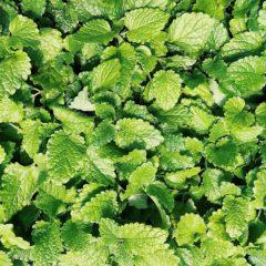 Huile essentielle de Menthe verte propriétés, indications, précautions