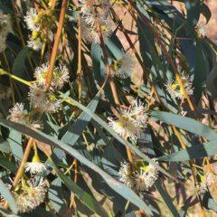 Huile essentielle d'Eucalyptus radié propriétés, indications, précautions
