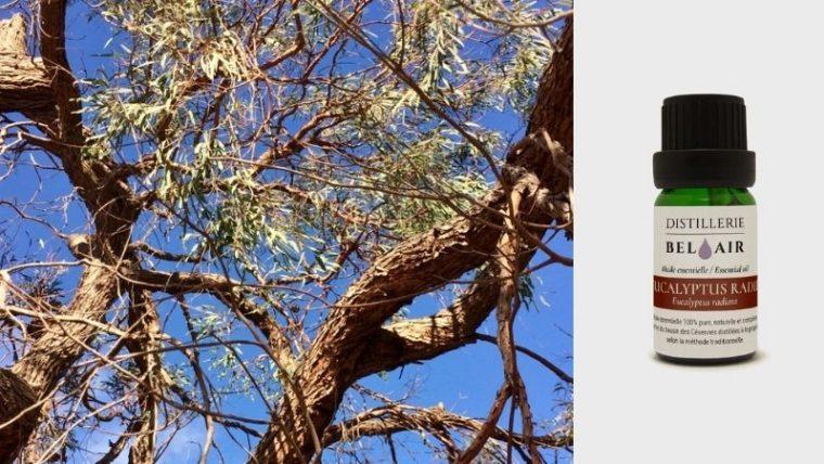 huile essentielle d'eucalypteus radié