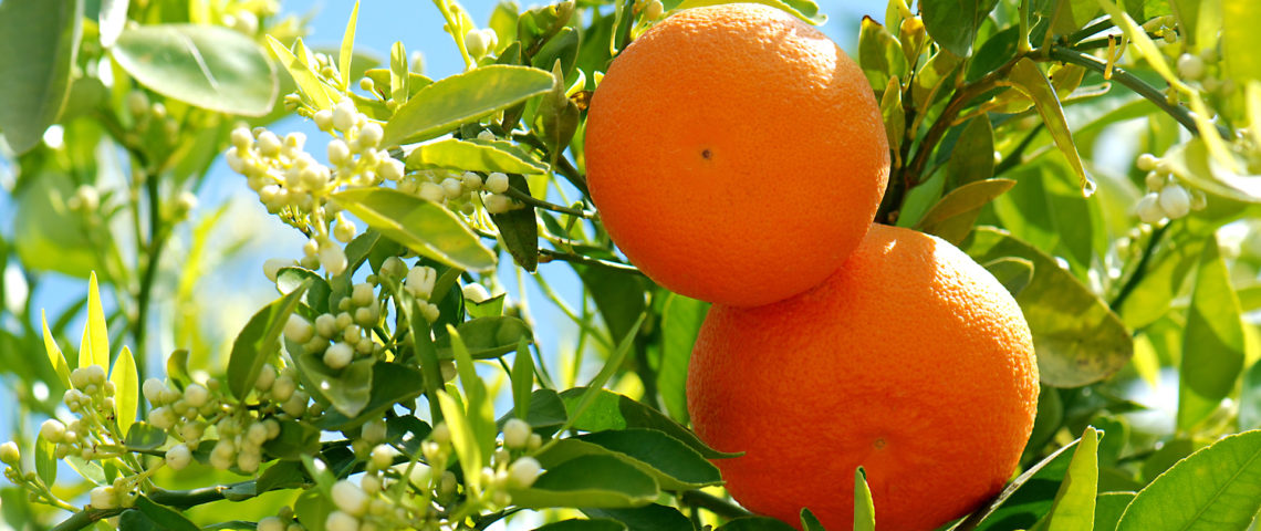AromaGuide : L'orange douce, la reine des agrumes